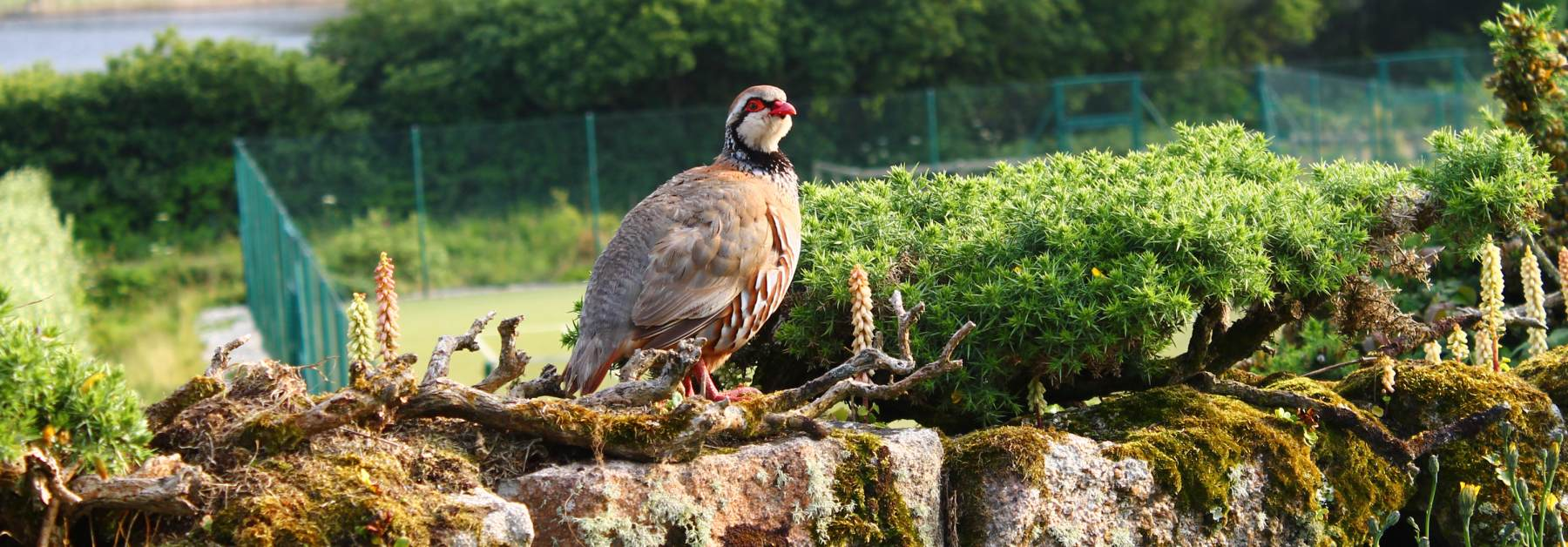 scilly-grouse-stone-wall